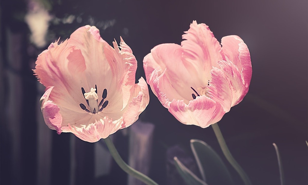 Two pink flowers in front of a gray background.